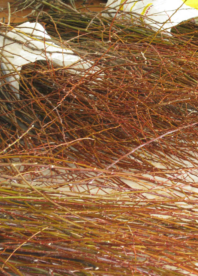 Willow harvested by boat